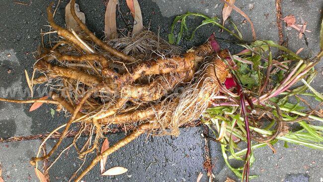 dongtayycom Dandelion root re