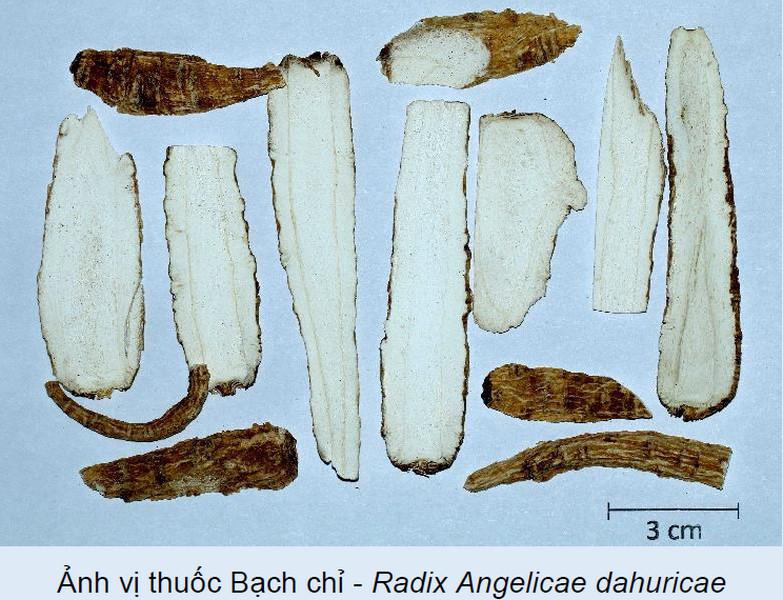 Cây dược liệu cây Bạch chỉ - Angelica dahurica