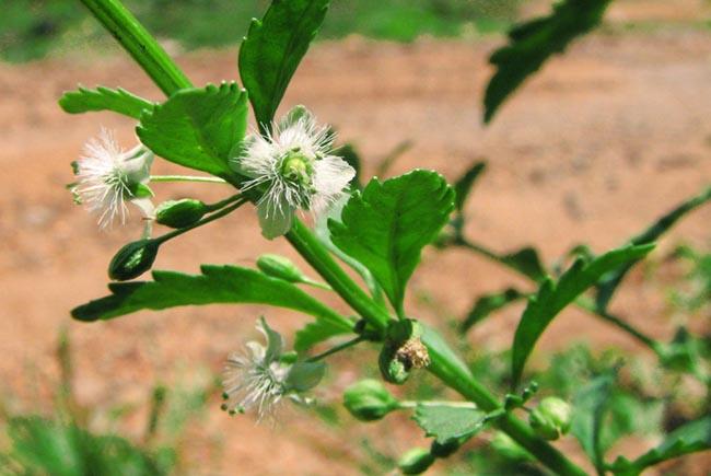 Cam thảo đất, Cam thảo nam - Scoparia dulcis L., thuộc họ Hoa mõm sói - Scrophulariaceae.
