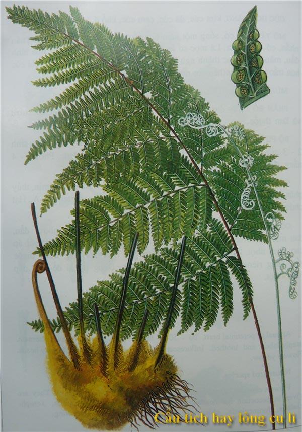 Cẩu tích hay lông cu li (danh pháp hai phần: Cibotium barometz) là một loài dương xỉ mộc trong họ Dương xỉ vỏ trai (Dicksoniaceae) mà chúng ta vẫn quen gọi là họ Cẩu tích.