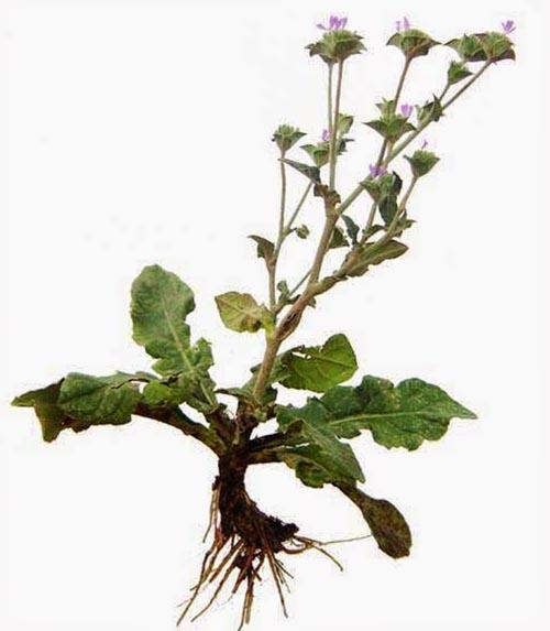 Cây chỉ thiên còn có tên gọi khác là thổi lửa, cỏ lưỡi mèo, cỏ lưỡi chó, co tát nai (dân tộc Thái), nhả đản (dân tộc Tày). Là cây cỏ mọc hoang, sống dai, thân cao chừng 20 - 50cm, nhiều cành, cả cây có lông. Lá gốc mọc thành hình hoa thị, sát đất. Phiến lá dài chừng 6 - 12cm, rộng 3 - 5cm, hình thìa, có lông trắng ở cả hai mặt, mép có răng cưa lượn sóng, phía dưới hẹp lại thành cuống rộng ôm vào thân. Lá ở thân nhỏ và hẹp hơn lá ở gốc. Hoa màu tím, mọc thành xim, có đầu giả. Quả hình thoi, có 10 cạnh lồi. Mùa hoa quả: tháng 1 - 8. Có thể thu hái quanh năm, dùng tươi hoặc phơi, sấy khô.