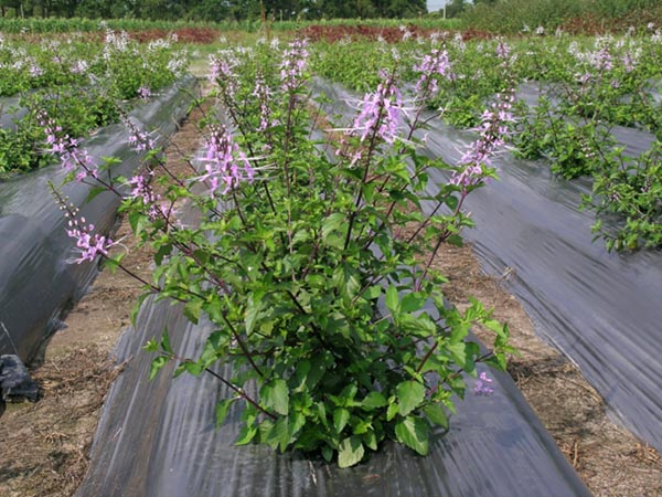 Cây râu mèo còn gọi là Cây bông bạc. Tên khoa học là Orthosiphon stamineus Benth., họ Bạc hà (Lamiaceae).