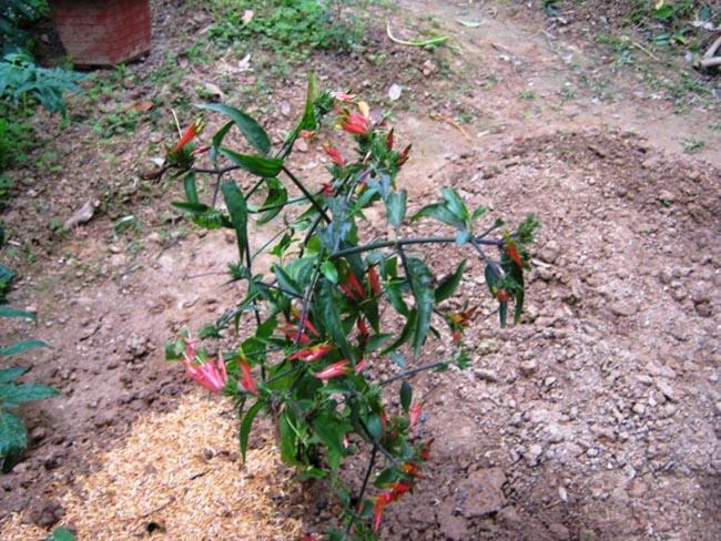 Mảnh công, cây bìm bịp, cây xương khỉ - Clinacanthus nutans (Burn f) Linlau, thuộc họ Ô rô - Acanthaceae.