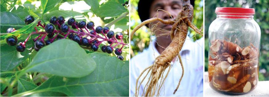 Thương lục Mỹ (danh pháp khoa học: Phytolacca americana) là một loài cây lâu năm thân thảo thuộc họ Thương lục (Phytolaccaceae) phát triển đến chiều cao 8 foot (2 mét). Nó có nguồn gốc từ miền đông Hoa Kỳ. Loài cây này có độc.  Nó có lá đơn giản màu lục với cành hơi tím và một rễ cái lớn màu trắng. Hoa màu lục tới trắng, quả mọng tím hoặc gần như đen là nguồn thức ăn của những loài chim hót như Dumetella carolinensis, Mimus polyglottos, Cardinalis cardinalis, Toxostoma rufum, và các động vật nhỏ khác (những loài động vật không chịu tác động bởi chất độc của cây).