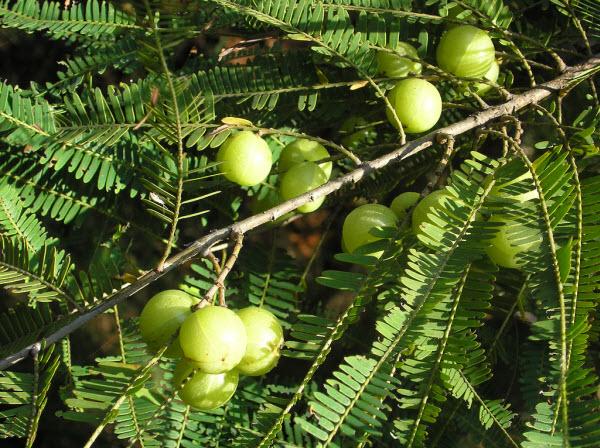 Me rừng còn gọi là chùm ruột núi, mận rừng, dư cam tử, Mác kham (Tày), Diều cam (Dao), Xì la liên (Kơ ho), tên khoa học Phyllanthus emblica L, thuộc họ Thầu dầu Euphorbiaceae. Là loại cây mọc hoang, xuất hiện nhiều tại các vùng rừng núi Việt Bắc và Tây Bắc nước ta…