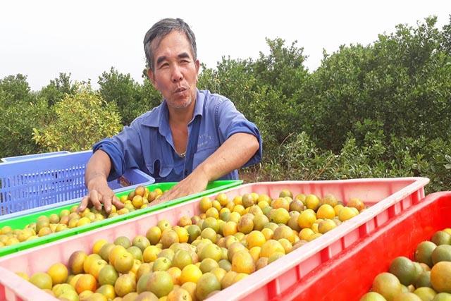 Ông chủ vườn quất dược liệu Đoàn Văn Hoa bên những thùng quất vừa thu hoạch. Những quả quát sạch được trồng và thu hoạch theo đúng tiêu chuẩn Biotrade có màu sắc rám vàng tự nhiên