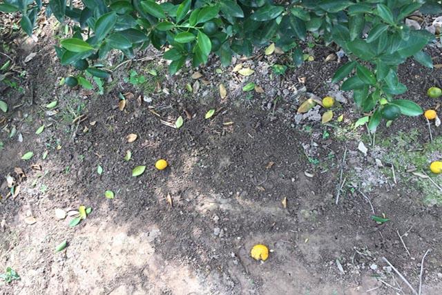 Không bón phân hóa học, không phun thuốc sâu nên vườn quất đầy dấu vết của giun đất
