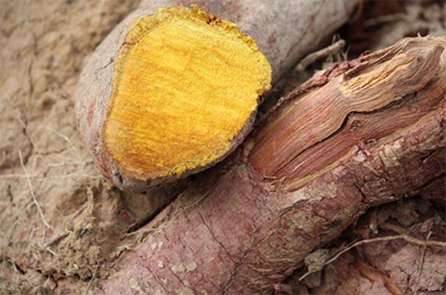Những bài thuốc Nam chữa bệnh hiệu quả từ lá, quả, vỏ và rễ cây Nhàu