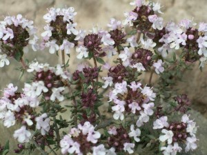 https://www.dongtayy.com/upload/caythuoc/images/m/Thymus-vulgaris-1.jpg