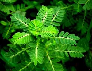 Cây Diệp hạ châu, Tên khoa học, Thành phần hóa học, tác dụng chữa bệnh của cây (Phyllanthus urinaria L)