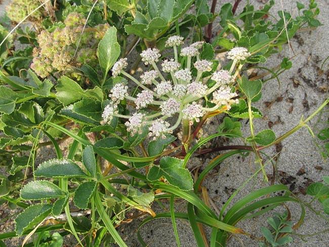 Cây Bắc Sa Sâm, Tên khoa học, Thành phần hóa học, tác dụng chữa bệnh của cây