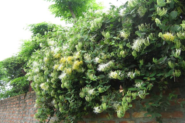 Cây Cây Kim Ngân, Tên khoa học, Thành phần hóa học, tác dụng chữa bệnh của cây Kim ngân hoa