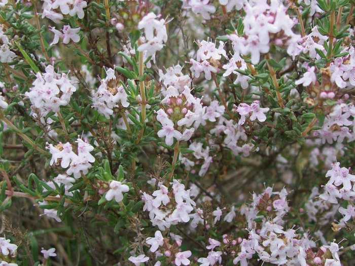 Cây Cỏ xạ hương, Tên khoa học, Thành phần hóa học, tác dụng chữa bệnh của cây