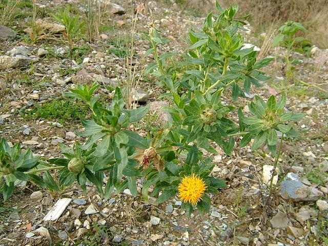 Cây Hồng hoa, Rum, Tên khoa học, Thành phần hóa học, tác dụng chữa bệnh của cây
