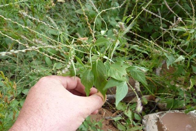 Cây Cỏ Xước, Tên khoa học, Thành phần hóa học, tác dụng chữa bệnh của cây