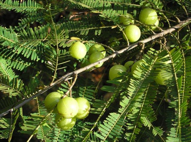 Cây Me rừng, Chùm ruột núi, Phyllanthus emblica L, và tác dụng chữa bệnh của cây