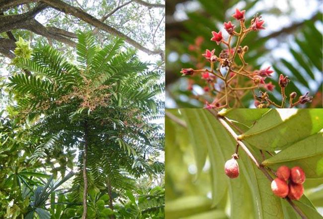 Cây Bách bệnh, Tên khoa học, Thành phần hóa học, tác dụng chữa bệnh của cây