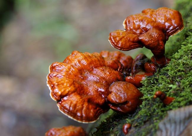 Nấm Linh chi, Nấm lim - Ganoderma lucidum, tác dụng chữa bệnh của Nấm
