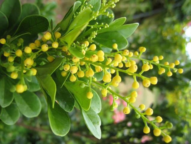 Cây hoa ngâu: Bài thuốc chữa Xương khớp, hen suyễn, cao huyết áp