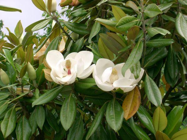 Công dụng, tác dụng của cây Giổi, giổi Ford - Manglietia fordiana (Hemsl.) Oliv