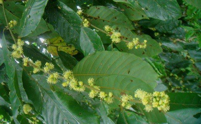 Cây Dược Liệu cây Bời lời đắng - Litsea umbellata