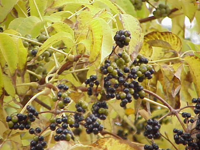Cây Hoàng bá hay Hoàng nghiệt - Phellodendron amurense Rupr. Công dụng và cách dùng