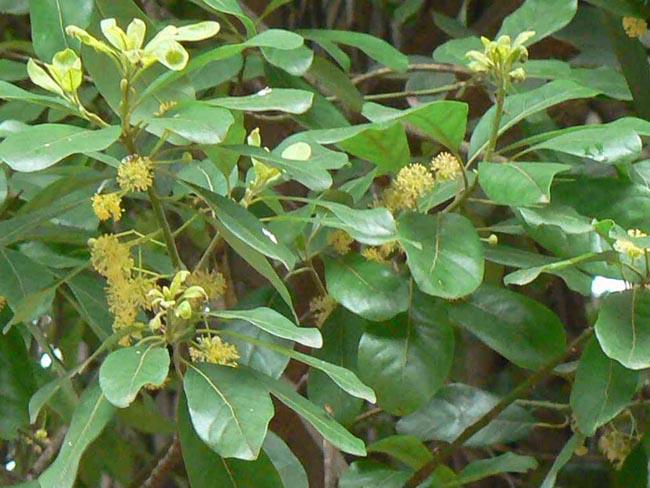 Cây Bời lời nhớt - Litsea glutinosa