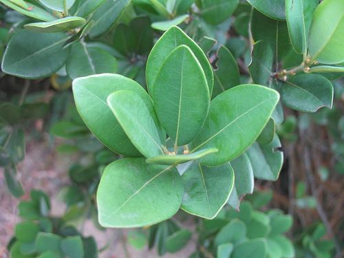 Cây Bời lời lá tròn - Litsea rotundifolia