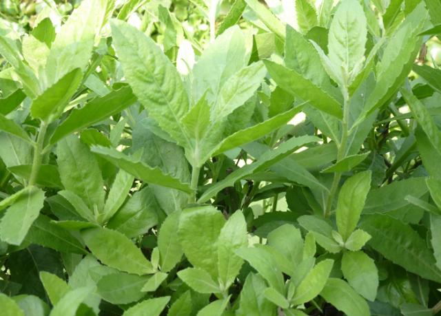 Thảo dược chữa bệnh: Chữa cảm sốt bằng cây cúc tần