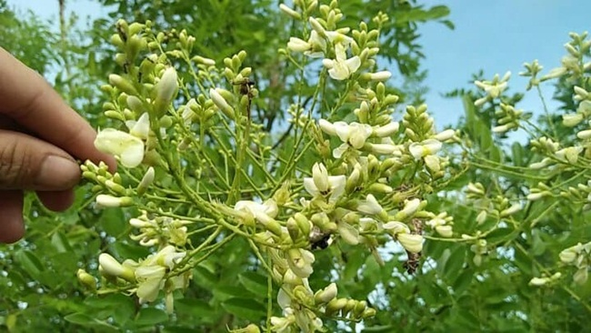 Bài thuốc Đông Y: Bài thuốc chữa tăng huyết áp từ hoa hòe
