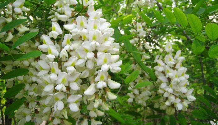 Tác dụng của hoa hòe