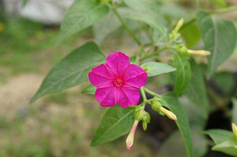Công dụng, tác dụng của cây Hoa phấn, Bông phấn, Sâm ớt, Mirabilis jalapa