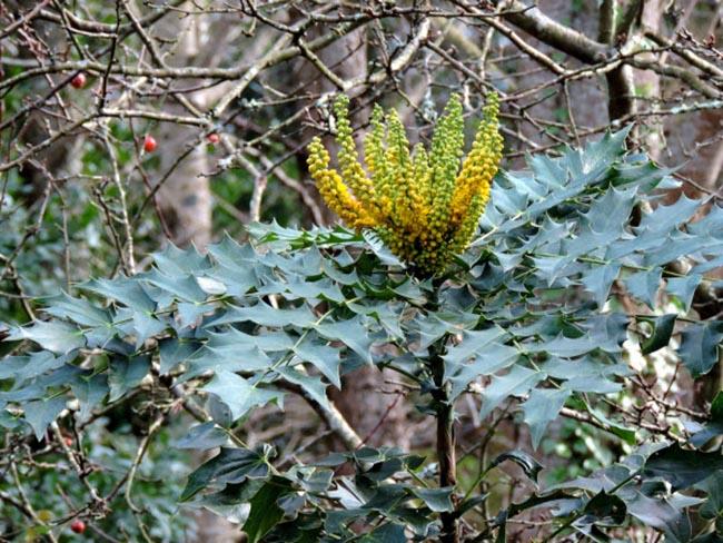 Cây Hoàng liên ô rô, Hoàng bá gai - Mahonia nepalensis DC công dụng và cách dùng chữa bệnh