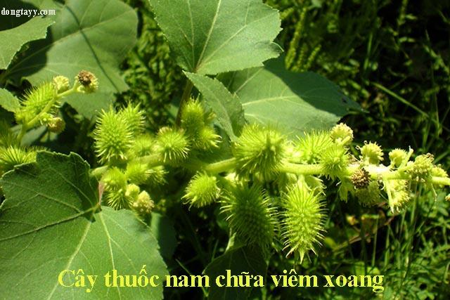 Những cây thuốc nam chữa bệnh viêm xoang hiệu quả trong vườn nhà