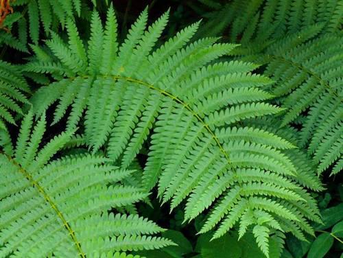 Cây Âm địa quyết - Botrychium ternatum