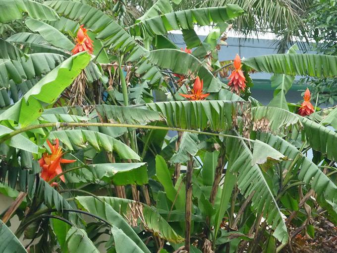 Cây Chuối Hột Rừng, Chuối hoang nhọn, Musa acuminata Colla công dụng và cách dùng