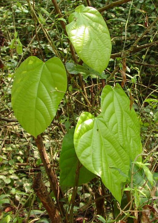Cây Hoàng đằng lá to, Sâm hai sóng - Cyclea bicristata. Công dụng và tác dụng chữa bệnh