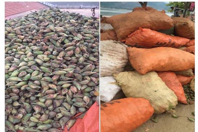 Chợ Dược Liệu Việt Nam: Các mặt hàng đang được bán, củ tam thất bắc, mật ong hoa bạc ha, chuối hột rừng, sâm bố chính