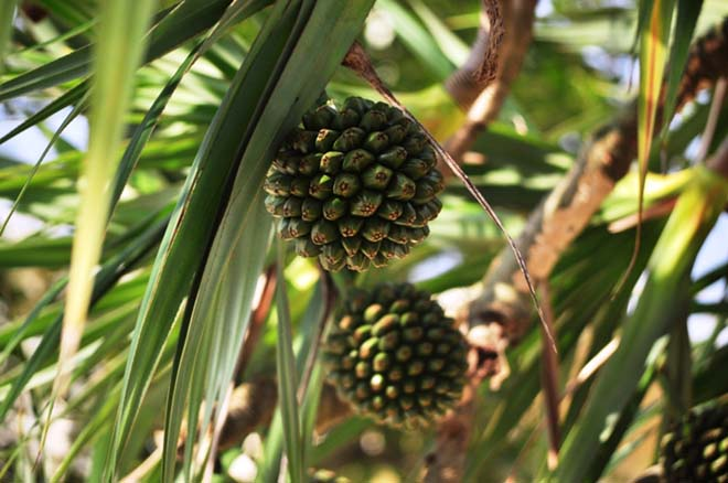 Chữa bệnh tiểu đường bằng bài thuốc từ lá cây dứa dại