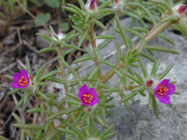 Cây Hoa mười giờ, Bông mười giờ - Portulaca pilosa L. Công dụng và tác dụng chữa bệnh