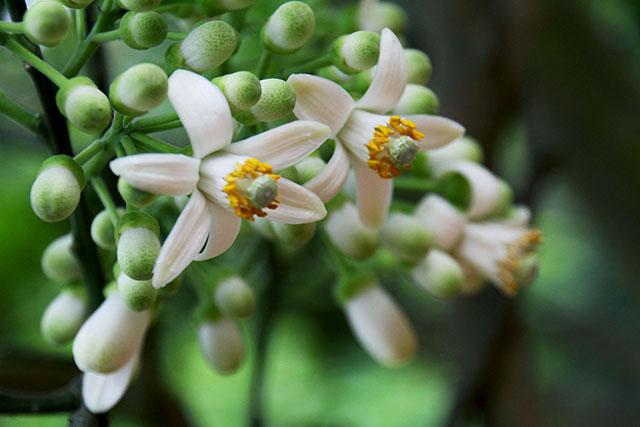 Hoa bưởi chữa chứng ho đờm