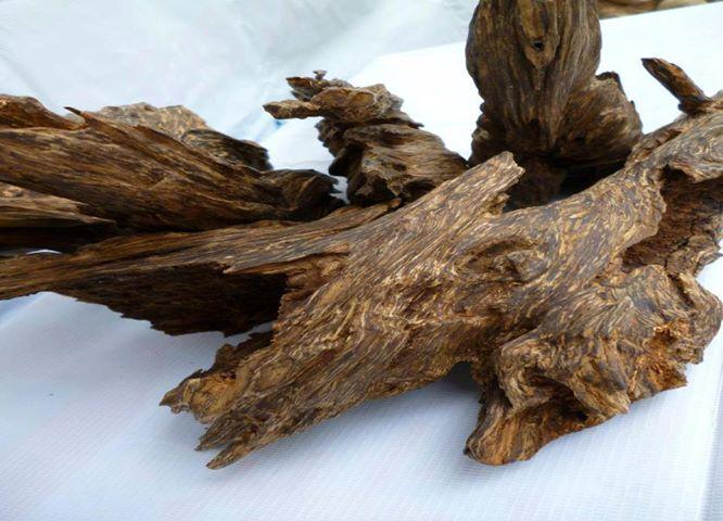 Trầm hương trị viêm phế quản, đầy trướng bụng