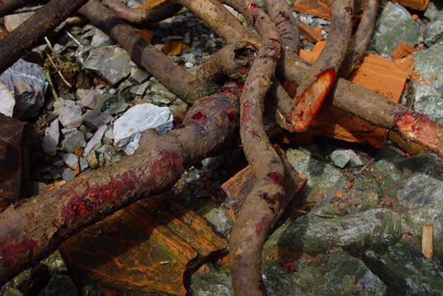 Giá trị chữa bệnh và cách dùng cây Kê Huyết Đằng