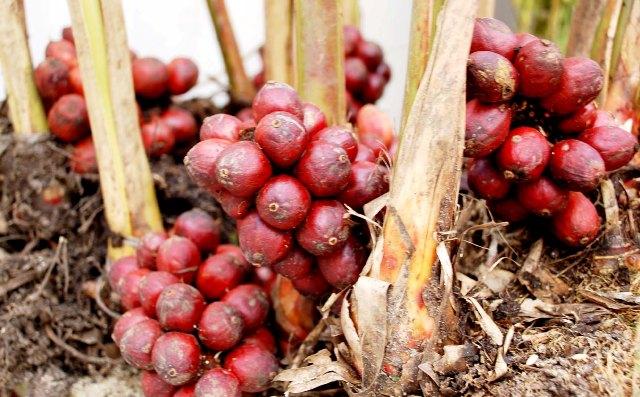 Công dụng, tác dụng của cây Thảo quả, Ðò ho - Amomum aromaticum Roxb