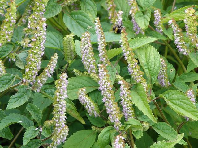 Công dụng, tác dụng của cây Kinh giới, Elsholtzia ciliata, Vị thuốc quý thường dùng trong dân gian