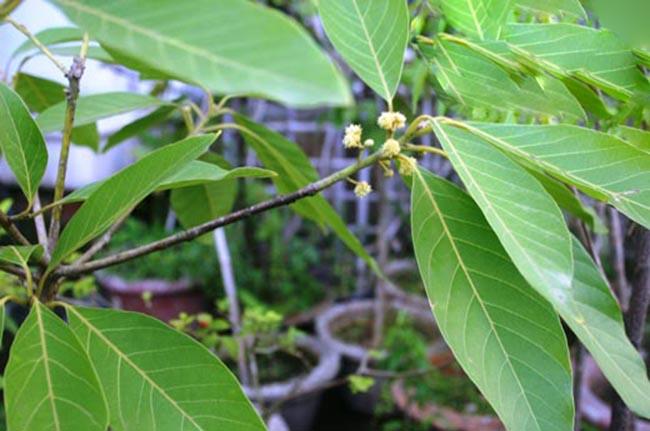 Cây Dược Liệu cây Bời lời thon - Litsea lancifolia