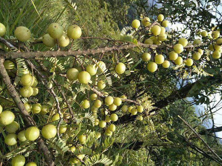 Cây me rừng, Tên khoa học, Thành phần hoá học, tác dụng chữa bệnh của toàn cây Me Rừng