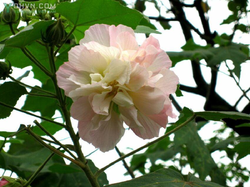 Cây Phù dung, Hibiscus mutabilis, Công dụng và tác dụng chữa bệnh của cây