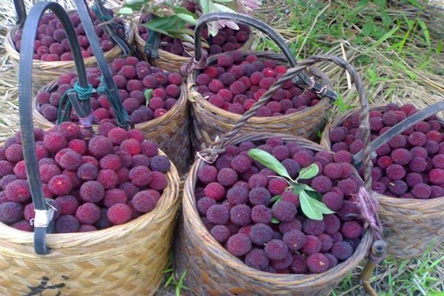 Cây Dâu Rượu, quả Thanh Mai, quả Dâu Rừng có tác dụng và cách sử dụng
