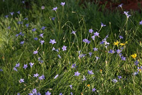 Cây Sâm ruộng, Sa sâm lá nhỏ - Wahlenbergia marginata, Công dụng và cách dùng chữa bệnh